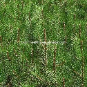 good quality Australian black pine for planting