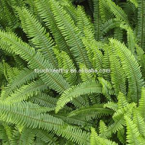 2018 Good quality Pteris vittata seeds  used  as lawn or turf grass
