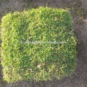 Good quality zoysia tenuifolia seeds used as lawn or turf grass