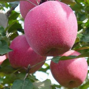 Hot Selling China  Organic  Fruits  Fresh   apple s qinguan  apple