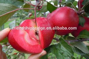 red flesh apple tree seedling