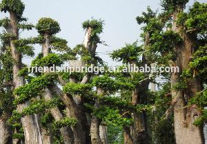 Outdoor plant Ulmus pumila seedling