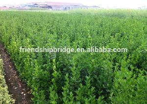 Outdoor plant evergreen spindle seedling