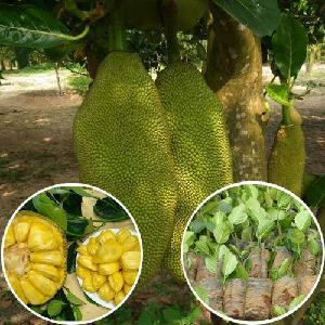 Nursery seedlings Artocarpus heterophyllus Lam  jack fruit seedling