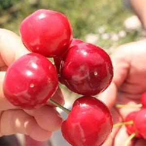 red cherry seedlings fruit tree wholesale