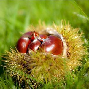 Farm   supply  Castanea mollissima Chinese chestnut seedlings