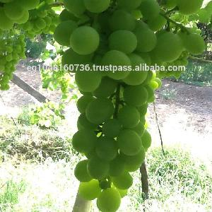 Egyptian White Grapes, (Early Sweet type, Superior, Thompson)