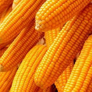 YELLOW MAIZE / YELLOW CORN FOR ANIMAL FEED