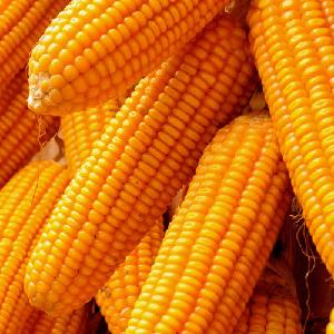 South Africa Bulk dried Yellow corn for Animal feed.