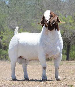 BOER GOAT / MERINO AND DORPER SHEEP / LIVE GOAT AND SHEEP