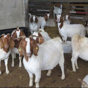 Healthy Boer Goats, Live Sheep & Live Goats, Dopers, Kalahari Reds and Holstein Heifers for sale