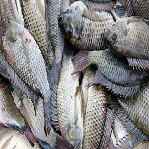 Black and red color frozen tilapia fish
