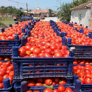 Red Color Fresh Tomato from Turkey