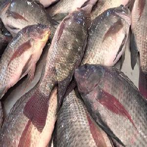 Frozen  black   tilapia  Fresh  whole  round/fillets
