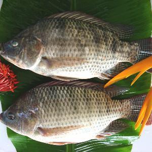 Good Quality Fresh Live Frozen  Black   Tilapia  Exporters
