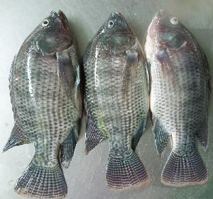 DEFROST Tilapia Whole Round 300-500G