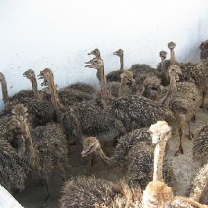 Ostrich chicks females chicks male chicks available at goods prices