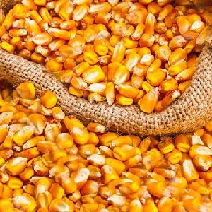 White corn, Maize,  Yellow  corn, corn  flour