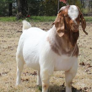 Dairy Cows and Pregnant Holstein Heifers Cow/Boer Goats, Live Sheep, Cattle