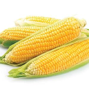 Dried Grade 2  Yellow   Maize / Corn , GMO, Fit for Human Consumption and Animal Feed, Origin.