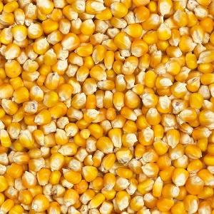 Top Quality Yellow Corn for Sale, Yellow Maize.