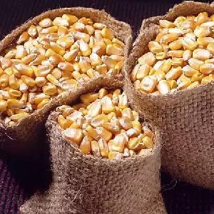 Yellow Corn   White Corn Maize for Human   Animal Feed.