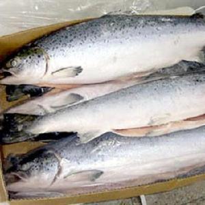 Get Fresh / Frozen Farmed Atlantic Salmons available