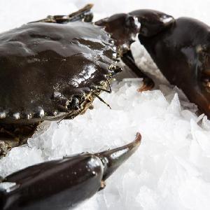 Alive Mud Crab - Live Mud Crab - Scylla Serrata - Alive Scylla