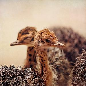 very affordable  ostrich  chicks