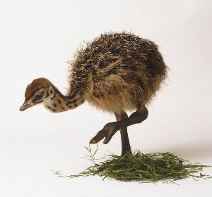 HEALTHY OSTRICH CHICKS FOR SALE / OSTRICH CHICKS ONE MONTH OLD - 1 - 6