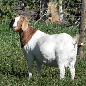 Live   stock  Sheep   goats