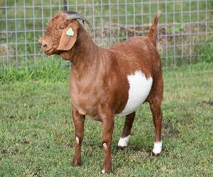 Merino Sheep lamb /Live Merino sheep for sale