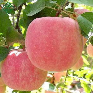 Fresh Fuji  Apple   Fruit , red Fuji  apple s, fresh  custard   apple   fruit /delicious  apple   fruit /mature  apple s  fruit  for Sale