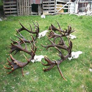 Whole Red Deer Antlers available in grades A, B and C.