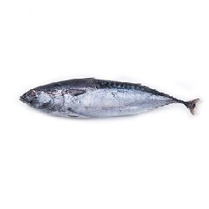 Frozen Skipjack  Tuna   Whole  Round for sale