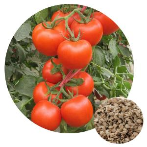 Hot Sale High Germination Rate Chinese  Vegetable   Hybrid  F1 Athena Big Red Tomato  Seeds
