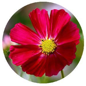 High Germination Garden Plant Dark Red Cosmos bipinnata sementes