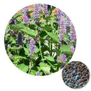 Bulk order Ornamental Flower Blue Licorice Chinese Agastache rugosa  Korean  Mint Seed for Garden/Home