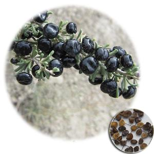 Top quality Chinese Herbal Medicine  Lycium  fruit black wolfberry seeds for planting