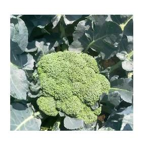Wholesale  high yield F1  Chinese  Vegetable Broccoli seeds
