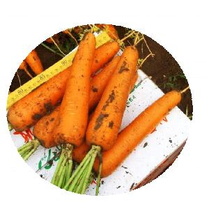 High quality Heitian 8 inches carrot seeds hybrid vegetables seeds