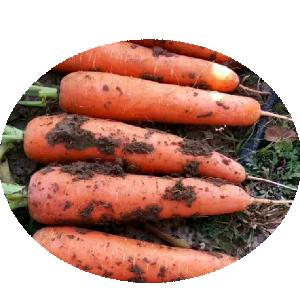 Best price 2020 new Chinese wholesale hybrid vegetable seeds 5 inches carrot seeds for planting
