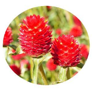 Gomphrena tall  red   tropial garden plant tall Globe Amaranth  red  amaranth seed
