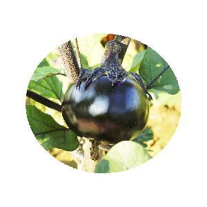 Wholesale Vegetable seeds Hybrid F1 purple black round eggplant seeds from China