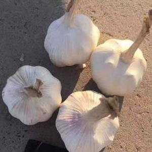 5.5cm pure garlic  Fresh garlic price  Garlic