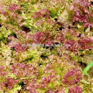 Touchhealthy supply Planting Hybrid Green Upright Grow Lettuce Seeds For Cultivation-Leaves Lettuce 20gram/bags