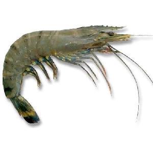 High Quality Frozen Black Tiger Shrimp and Vannamei Shrimps
