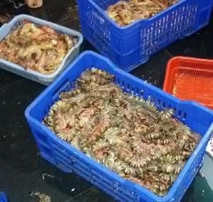 Fresh  Shrimps/Wild Shrimps/ Sea  Caught Prawn/ Sea food!