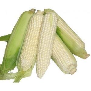 Yellow   Corn  / Yellow   Maize /  Maize  At good  price