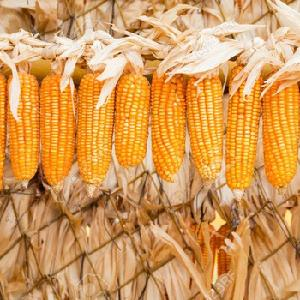 Не ГМО белая и желтая кукуруза/кукуруза класса 1